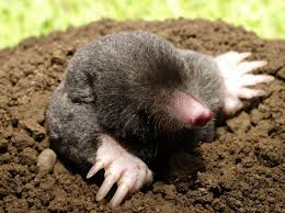 garden moles. Tiny, Velvety, Almost Completely Blind, Moles Are Among The Most Secretive Garden Creatures. You Might Live With One For Years And Never See It. A