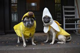 pug in taco costume. Modren Taco Bananas Dog Costume Halloween For Pug In Taco Costume