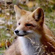 <b>Red Fox</b>