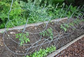 garden cages. Plain Garden ITu0027S THE TIME OF YEAR WHEN I DRAG OUT TOMATO CAGES And Set Them Into  The Ground Where My New Transplants Are Settling Inu2014an Exercise That Used To  In Garden Cages G