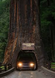 in the redwoods treeore make special part of california a must see