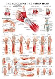 Hand Chart Muscles Of The Hand Laminated Anatomy Chart