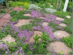garden ground cover. Bressingham Thyme Is One Of The First Ground Cover To Bloom. Garden I