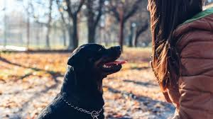 Rottweiler Training Guide How To Train A Rottweiler