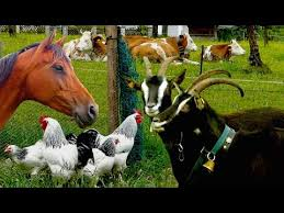 real farm animals chickens.  Animals Top25 Most Beautiful Farm Animals  Rare Breeds Of Lifestock Cattle Goats  Chickens Horse Poultry With Real Chickens