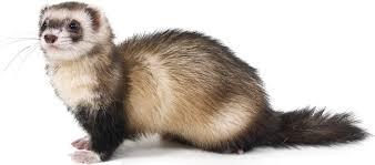 """Résultat de recherche d'images pour """"ferret"""""""