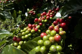 Please note that due to scarcity, 100% kona coffee is excluded from discount offers. Understanding The World S Coffee Regions Pura Aventura