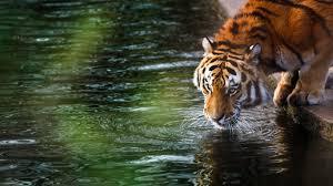 tiger 4k po jpg