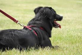 5 Best Large Dog Harnesses To Stop Pulling Canine Weekly