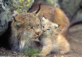 lynx size interesting facts about lynx just fun facts