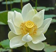 white lotus flower in mauritius