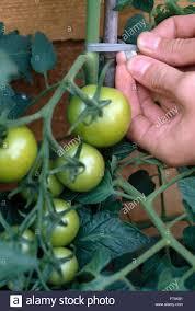 Nahaufnahme Der H Nde In Gr Ne Tomaten Zu Einem Bambus Pfahl