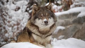 beautiful nanook wolf majestic wolfs gorgeous dog wallpaper