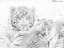 Dessin Tigre B B