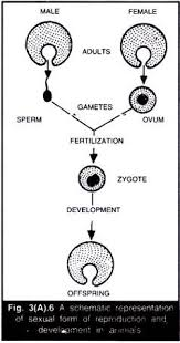 Asexual And Sexual Reproduction In Animals With Diagram