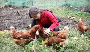 Eartheasy BlogRaising Backyard Chickens My 8year Old Daughteru0027s Backyard Chicken Blog