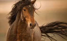 wild horses mustang wallpaper. Wild Horses Mustang On Wallpaper
