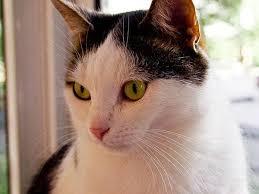 Бордетела и кошачья пневмония кошачий бордетеллез кошачья  Коварная бордетела и кошачья пневмония