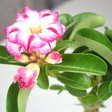 office bonsai. desert rose seeds flower adenium obesum office indoor bonsai plant mini potted tree home garden 1 particles lot s014in from u0026 on t