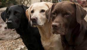 labrador retriever. Wonderful Retriever A Guide To Labrador Retrievers And Retriever