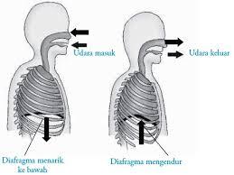 Perbedaan pernapasan dada dan perut pada manusia. Pernapasan Perut Pada Manusia Fase Inspirasi Ekspirasi