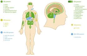 the endocannabinoid system and cancer therapeutic implication