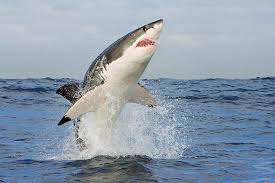 great white shark jumping out of water planet earth. Great White Shark Jumping Out Of Water Planet Earth With