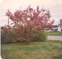Flowering crab apple | Acadia Archives