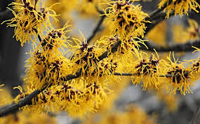 witch hazel planting pruning and