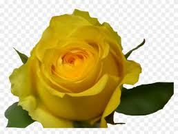 yellow rose hd png