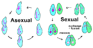 Venn Diagram Of Asexual And Sexual Reproduction Can Reproduce Livingmatterwebquest