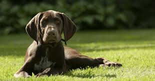 17 of the cutest german shorthaired