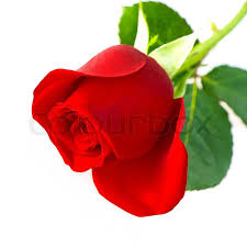 single red rose flower.  Rose Single Red Rose Flower Isolated On White Background  Stock Photo  Colourbox Inside Red Rose Flower