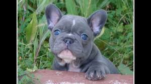 cute blue french bulldog puppies. Grey French Bulldog Blue Eyes And Cute Puppies
