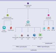 Hematopoietic Stem Cell Chart Blood Human Human Cell Sources Human Cells And Organs