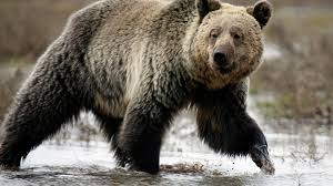 Grizzly Bears Have A Human Problem The Atlantic