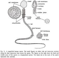 fertilization in animals essay animals reproductive biology externally the head is covered by a cell membrane the acrosome remains in between the cell membrane and the narrow part of the nucleus fig 11