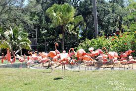 busch gardens in tampa. Flamingos At Skyride Busch Gardens Tampa In 0