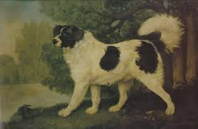 boatswain dog. some say that his ancestors are the white great pyrenees, dogs brought to coast of newfoundland by basque fishermen; boatswain dog