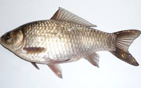 pic of fish. Fine Pic Types Of Fish In India Common Carp Throughout Pic Of