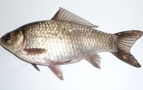 types of fish in india mon carp