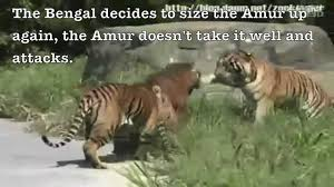 siberian tiger vs bengal tiger. Simple Siberian And Siberian Tiger Vs Bengal E
