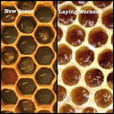 Queen Bee Colour Chart New Queen Laying More Than One Egg Compared To Laying