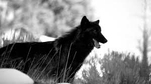 Wallpapers Collection Black Wolf Wallpapers