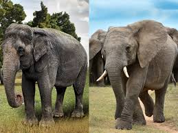 African asian elephant differences