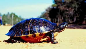 How Can You Tell If A Baby Painted Turtle Is A Girl Or A Boy