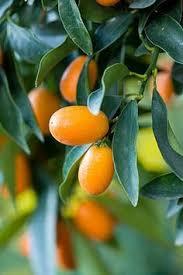 Buy Stock Photos Of Fruit Trees  ColourboxSmall Orange Fruit On Tree