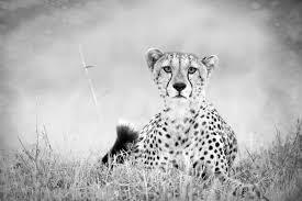 Wallpaper black gold modern leopard cheetah animal skin imitation 3d textured embossed metallic wallcoverings. Cheetah Black And White Black And White Cheetah 1050x700 Wallpaper Teahub Io