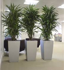 modern office plants. Cool Dracaena Plants In Silver Cubico Lechuza Planters! Great For Low Lighting Office Plants! Modern N