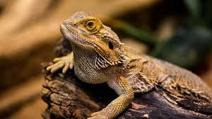 Flood Light For Bearded Dragon Bearded Dragon Lighting Everything You Need To Know